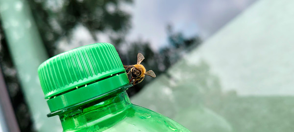 9_8_21 A Bee enjoying a sweet