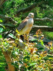 9_24_21 Hawk outside my window