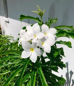 9_10_21 Plumeria bloom