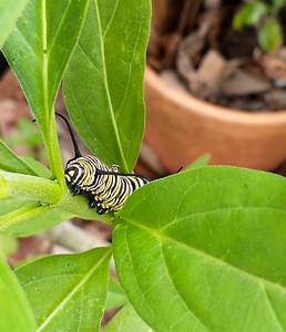 9_17_21 Monarch caterpillar on milkweed