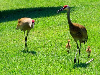 9_18_21 Sandhill crane family