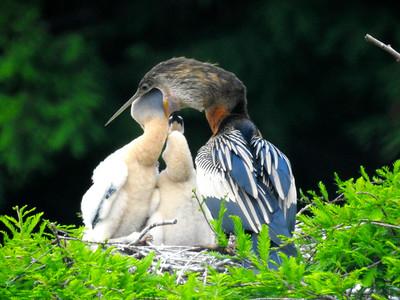 4_15_19 Anhinga feeding its babies