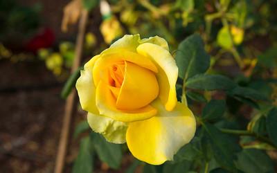 4_30_19 Yellow Rose