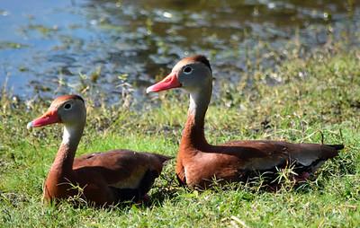 4_1_19 Black bellied whistling ducks