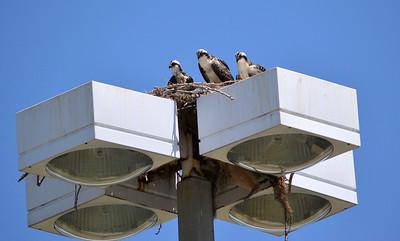 4_2_19 Osprey Family