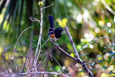 4_26_19 Eastern Towhee on Honeymoon Island