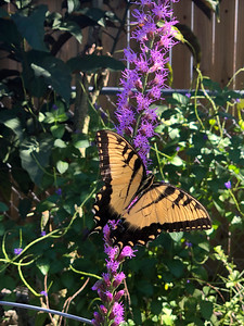 4_10_19 Eastern Tiger Swallowtail on Liatris