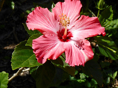 4_23_19 Beautiful Pink Hibiscus