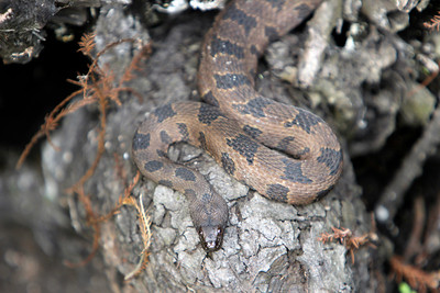 4_14_19 Brown Water Snake