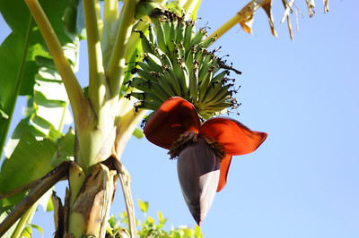 4_16_19 Banana plant flowering and fruit