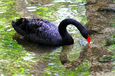 12_10_19 Black Swan Taking A Drink