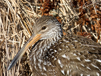 12_1_19 Limpkin Bird