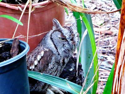 12_27_19 Screech Owl Visit