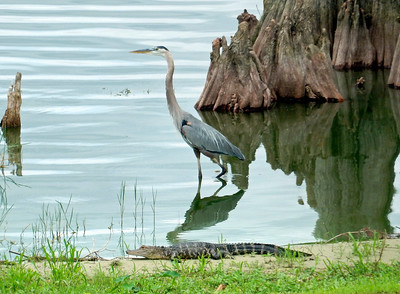 2_22_19 Gator and Bird in Harmony