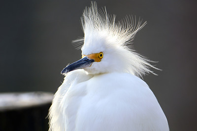 2_26_19 Portrait of a Snowy Egret