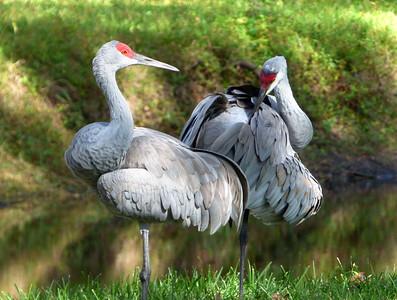 2_10_19 Pair of Sandhill Cranes in preening mode