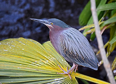 1_11_19 Little Green Heron on Palm Frond