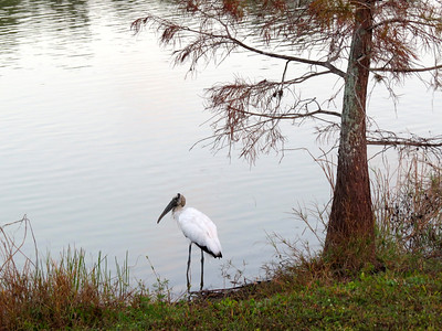 1_17_19 Wood Stork at Freedom Park