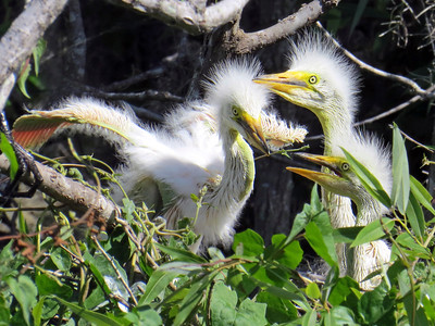 1_8_19 Great Egret chicks in their nest