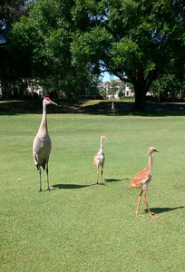 1_13_19 Sandhill Crane with brood