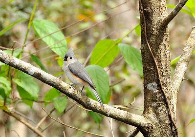 7_1_19 Tufted Titmouse