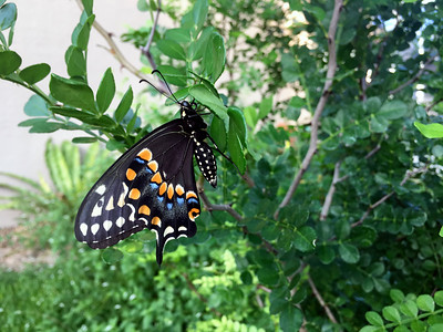 7_19_19 Freshly Hatched Butterfly
