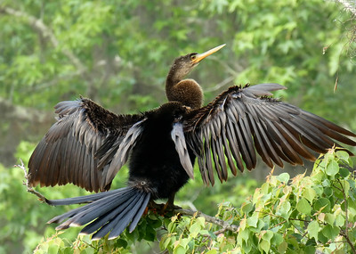 7_29_19 Anhinga Drying It's Wings