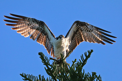 7_12_19 Incoming Osprey