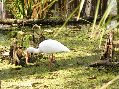 7_18_19 Ibis At Lunch In The Swamp