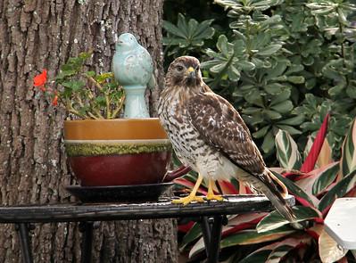 7_23_19 Hawk In My Backyard