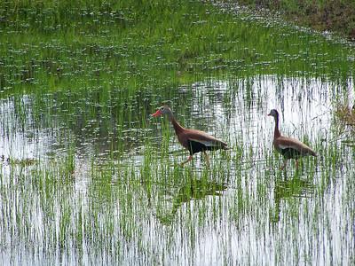 7_8_19 Black Bellied Whistling Ducks