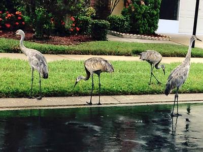 7_10_19 Sandhill Cranes