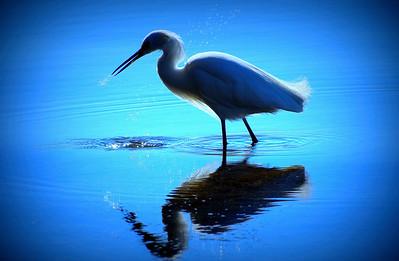 7_7_19 Bird Wading Looking For Food