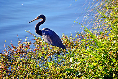 7_25_19 Tri-Colored Heron In The Marsh
