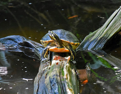 7_6_19 Florida Red-Bellied Cooter