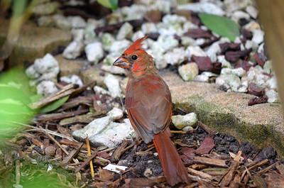 7_5_19 A Young Cardinal
