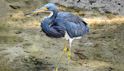 7_31_19 Great Blue Heron
