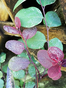 6_11_19 Dew on Snowbush