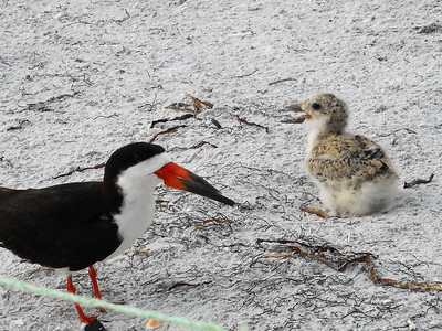 6_27_19 Black Skimmer and chick