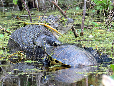 6_12_19 Alligator and turtle basking together