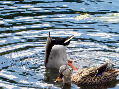 6_14_19 Diving ducks
