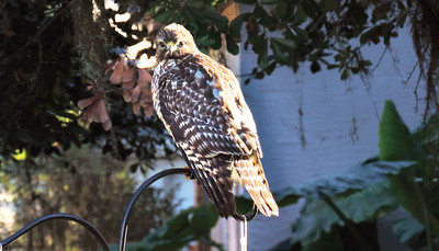 6_25_19 Hawk sitting on our feeder