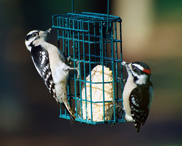 3_20_19 Pair of Downy Woodpeckers