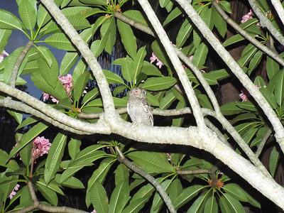 3_1_19 Screech Owl In Plumaria