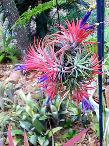 3_31_19 Tillandsia in full bloom