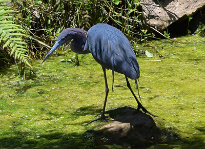 5_3_19 Little Blue Heron
