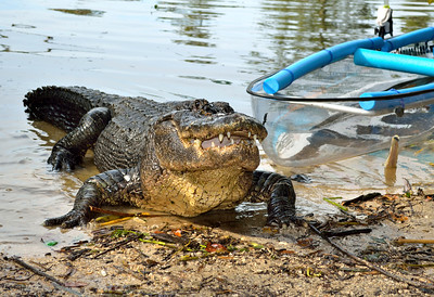 5_10_19 Alligator next to a see through canoe