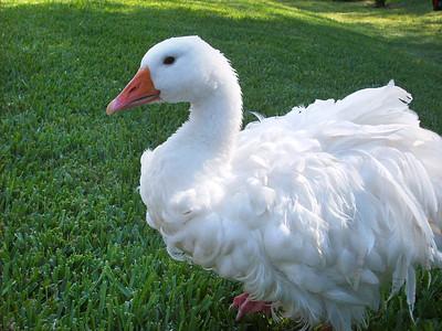 5_5_19 Molly the Goose