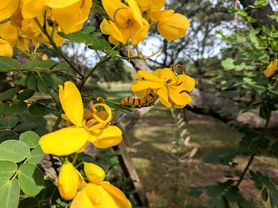 5_25_19 Yellow Caterpillar