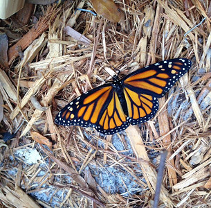 5_6_19 Monarch Butterfly